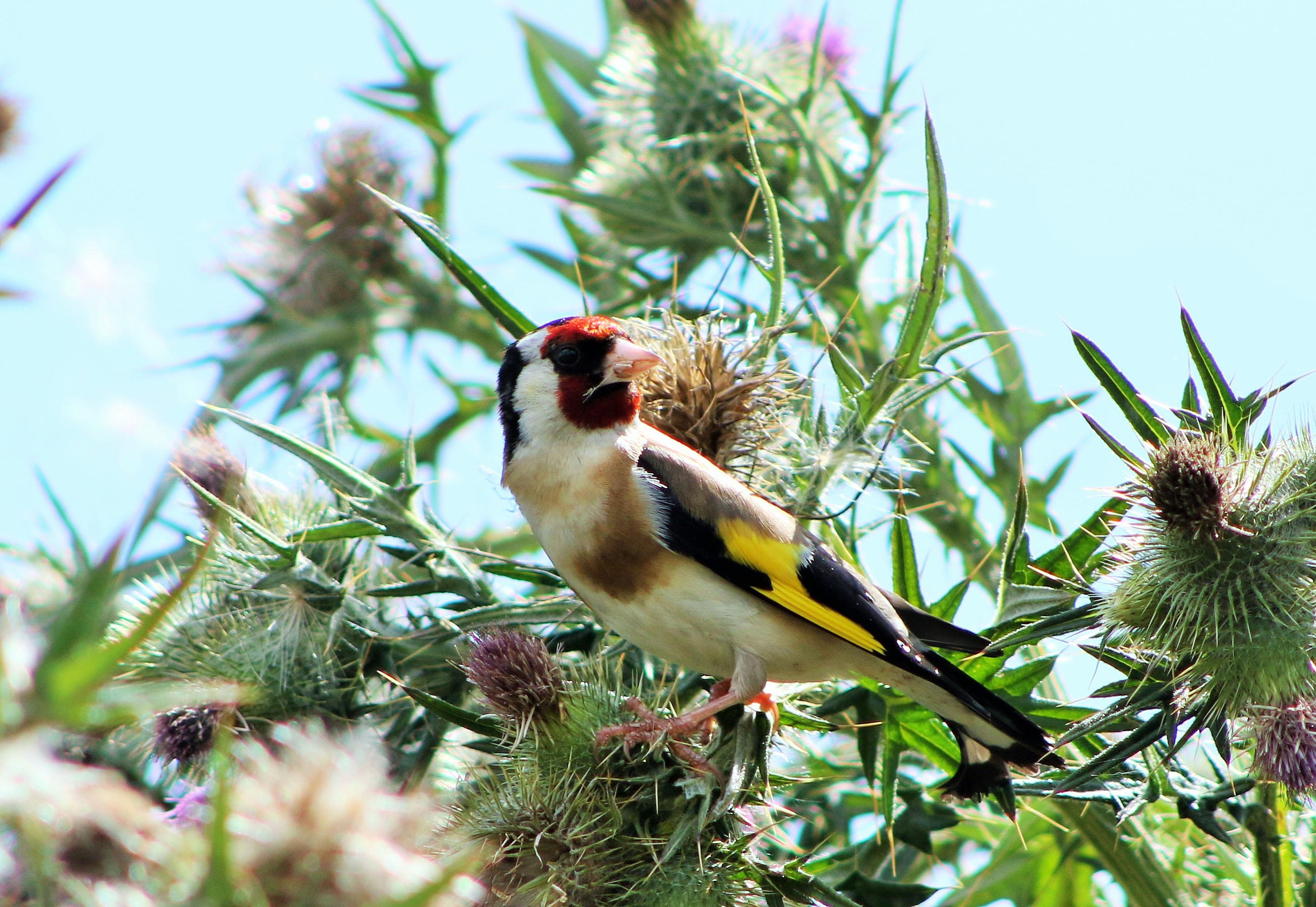 A Goldfinch in the Church carpark, photographed by Brian Jennings