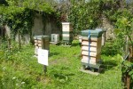 Clive's 300,000 bees which have now produced honey